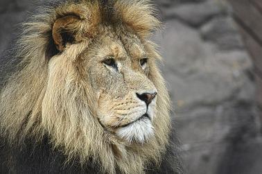 lion-1209289_640