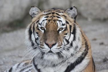 tiger-1092497_640