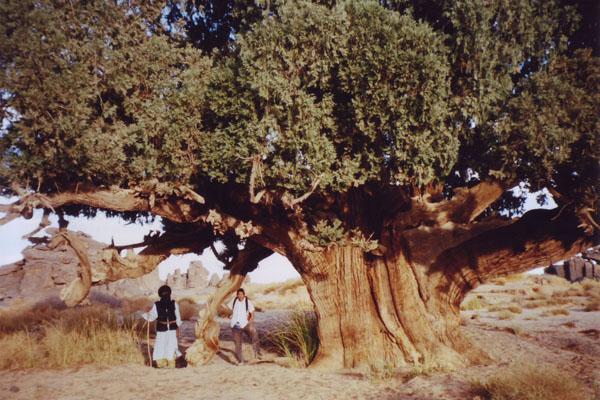 Cypress_Three02