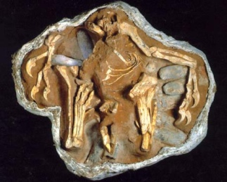 Citipati fossil on eggs. Photo courtesy of Nature (December 1995)