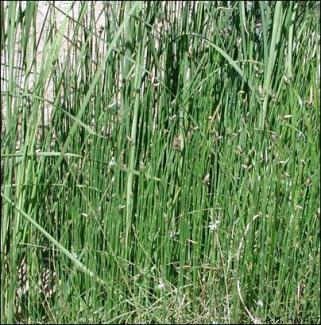 equisetum20may02a