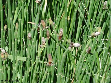 These horsetails were photographed in the Chihuahuan Desert Gardens, Centennial Museum. Images courtesy of A. H. Harris