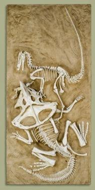 Velociraptor vs. Protoceratops (sheep-sized cousin of Triceratops)