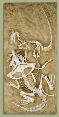 Velociraptor vs. Protoceratops (sheep-sized cousin of Triceratops)