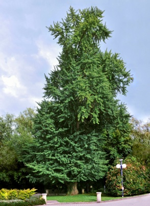 A modern day Ginkgo biloba tree. Wikipedia commons.