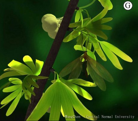 A reconstruction of a Jurassic ginkgo branch. Image courtesy of Wang Chen