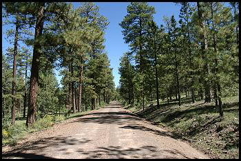 Ponderosa pine trees. These are in the middle of the desert in the southwestern states of the US.