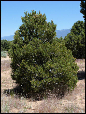 A pinyon pine. Pine nuts would be a tasty treat for any dino I'm sure. :) Images courtesy of in-the-desert.com