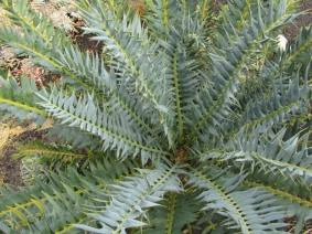 There are many more varied shapes to cycads. these are just the most drought tolerant, but all cycads tend to do well in places that are hot and dry like Arizona.