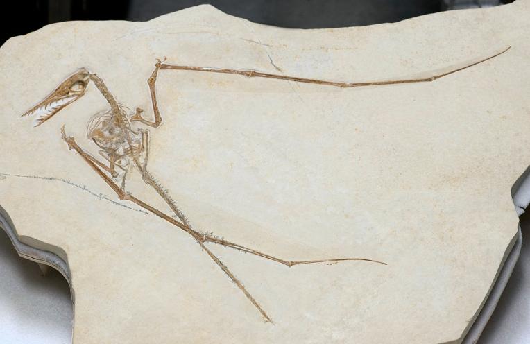 pterosaur_henderson_4090