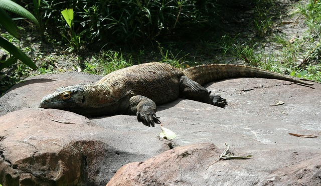komodo-dragon-58396_640
