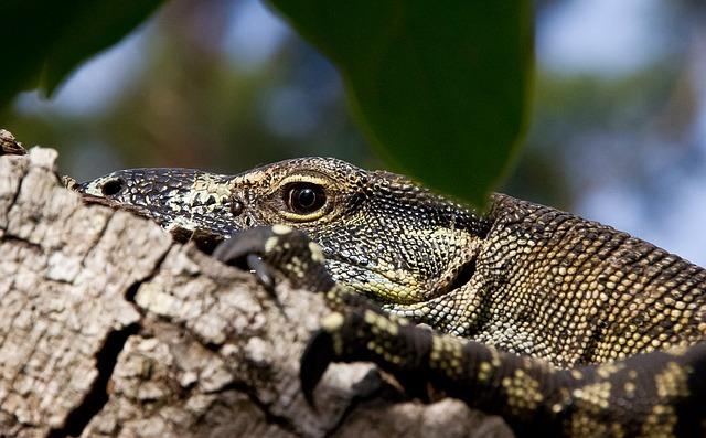 monitor-lizard-425165_640