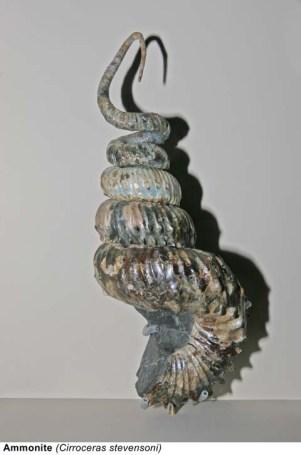 Ammonite (Cirroceras stevensoni)
