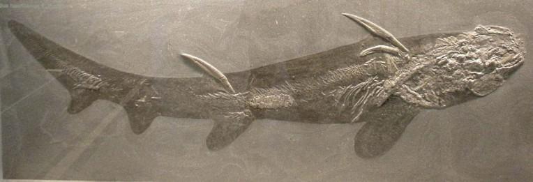 Fisch: Hybodus hauffiensis