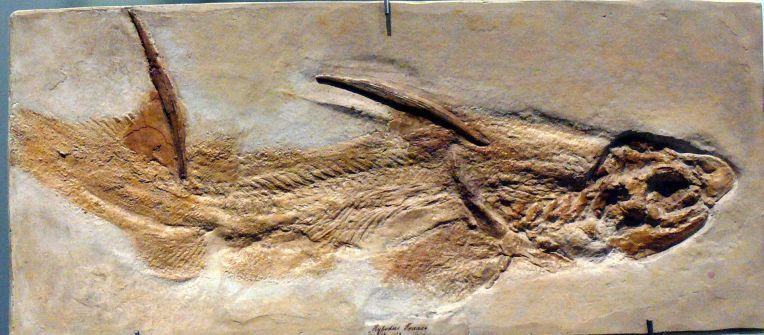 Hybodus_fraasi_(fossil)