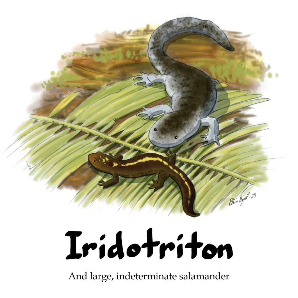Iridotrition prepares to make a run for it as a larger, grumpier salamander approaches.