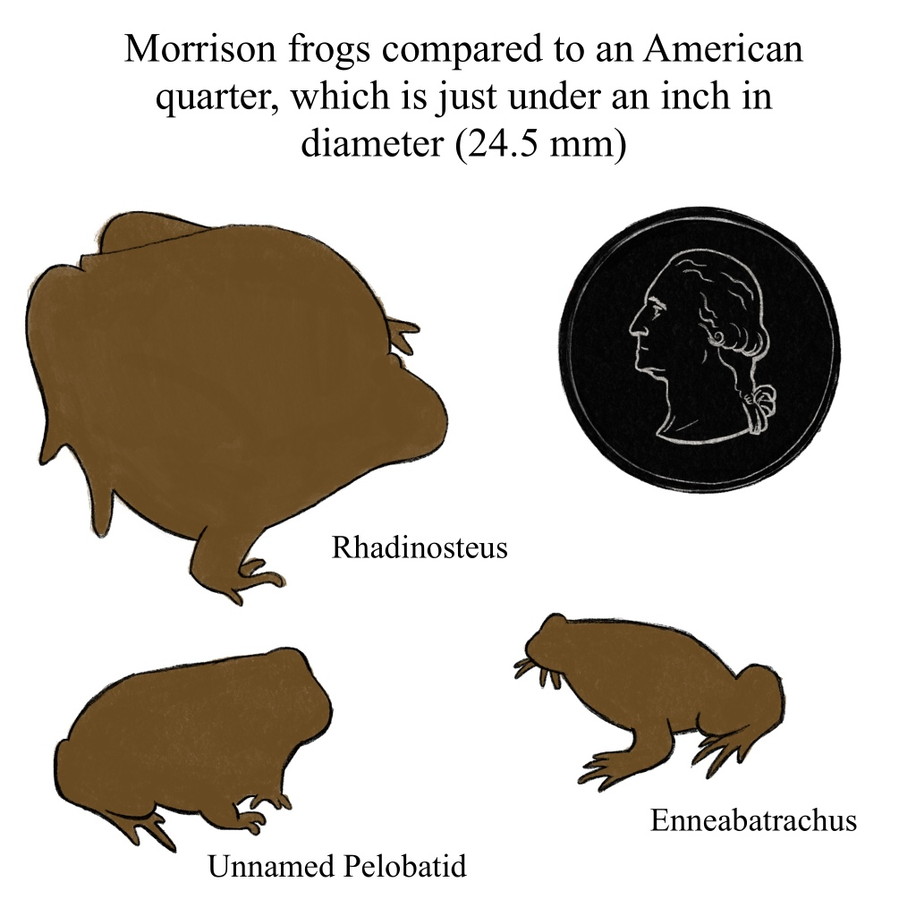 Tiny Morrison frogs next to an American quarter, because everyone has a quarter on hand for comparison right? It's 24.5 mm in diameter.